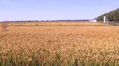 一地三收蟹农效益翻倍 姚大哥种出独特香稻