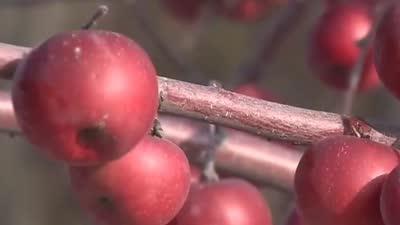 如何有效防止根结线虫 不愁卖的寒富苹果