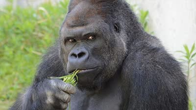 """动物园大猩猩太帅 引女游客疯狂""""追猩"""""""