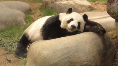 杭州大熊猫吹空调消暑 校园暴力事件频发忧患大