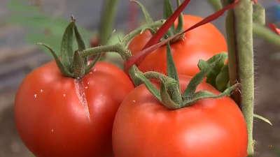 西红柿早熟有诀窍 葡萄延收为哪般