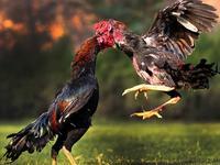 厉害了我的鸡!斗鸡训练跑步水疗一样不少
