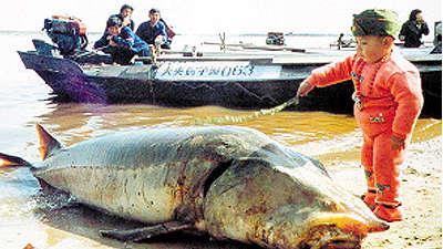 黑龙江渔民捕获900斤鳇鱼