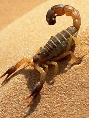 Scorpion: Deadly Eight Legs