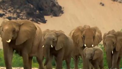 沙漠象的艰苦生活