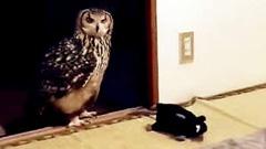 主人骗猫头鹰家中有老鼠