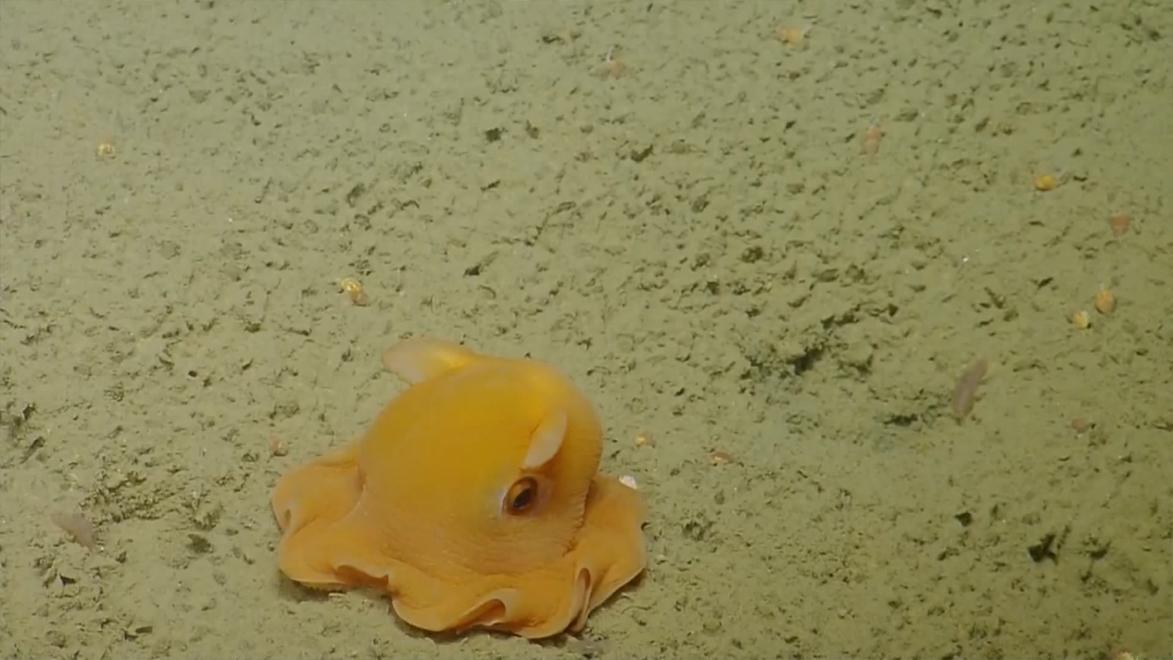 害羞的金黄色小象章鱼 章鱼藏在自己的触须里