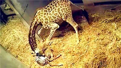 世界真奇妙!长颈鹿生宝宝,竟然如此顺畅