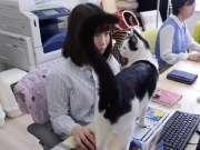 """带着喵星人去上班,日本企业成""""猫奴天堂"""""""