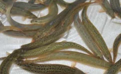 我们经常吃的泥鳅,它是吃什么,就让我们来看看