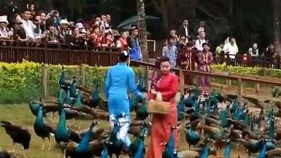动物王国漫游记 华美的孔雀放飞仪式