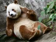 揭秘罕见棕色大熊猫之谜 亚运会吉祥物盼盼安度晚年-熊猫奇缘20161223预告