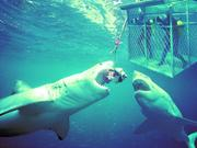 加勒比海探险——与鲨共潜
