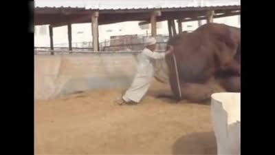 实拍两头骆驼大战,主人看着也没有办法,过去推根本没有用