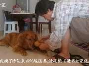 金毛胖墩儿狗生的第一次捡回训练