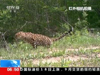 [视频]东北虎豹国家公园管理局今天成立:东北虎豹野外种群逐步恢复