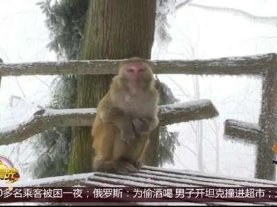 [视频]湖南张家界:猕猴赏雪乐趣多