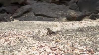 里海滩群蛇追杀海蜥蜴的一幕