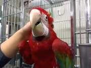 鹦鹉竟然和猫咪一样会撒娇 太萌了!