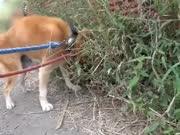 主人带着15岁的老柴犬出来遛弯 走路都不稳了还是想跑!