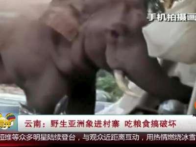 [视频]野生亚洲象进村寨 吃粮食搞破坏
