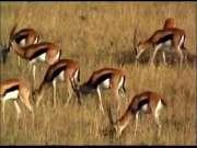 豹子猎杀羚羊,没想到是豹子死了,羚羊居然跑了