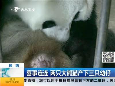 [视频]喜事连连 两只大熊猫产下三只幼仔