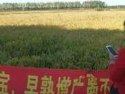 【许博士农技大讲堂】许博士快熟宝水稻使用效果,促早熟、催熟明显