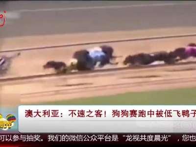 [视频]不速之客 狗狗赛跑中被低飞鸭子绊倒