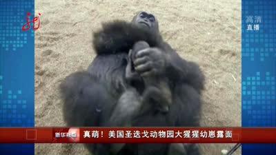 美国圣迭戈动物园大猩猩幼崽露面