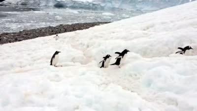 萌萌哒企鹅排队迁移
