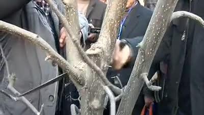 梨树冬季修剪技术---结果树修剪示范