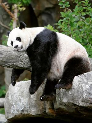 熊猫育儿室