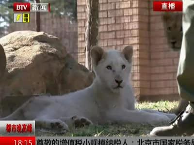 南非:约翰内斯堡动物园迎来三胞胎幼狮