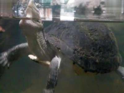 北京动物园 游动的乌龟