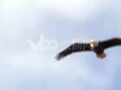 动物020005飞翔的鹰视频素材2