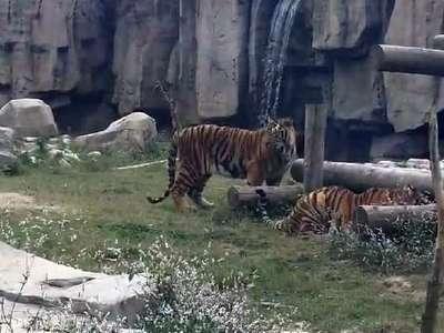 上海野生动物园-老虎扑食1