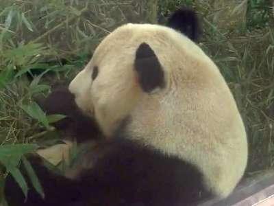 熊猫吃竹叶- 在线观看